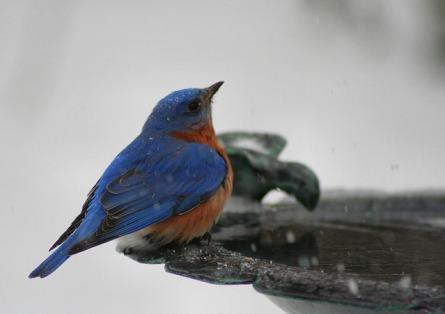 eastern-bluebird-1376375-639x450