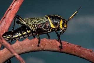 1200px-Horse_Lubber_Grasshopper_(Taeniopoda_eques)